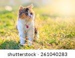 Tri Colored Persian Cat Walkin...