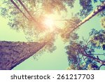pine forest at sunny day.... | Shutterstock . vector #261217703