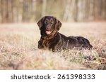 Flat Coated Retriever Dog Lyin...