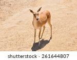 Small photo of A single Kenya Impala (Aepyceros melampus rendilis) standing on sunlit sand