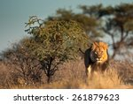 large male lion in kgalagadi... | Shutterstock . vector #261879623