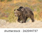 north american grizzly bear at...   Shutterstock . vector #262044737