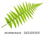 Fern Isolated On White...