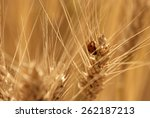 wheat field | Shutterstock . vector #262187213