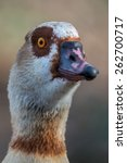 Small photo of Egyptian goose - Alopochen aegyptiacus
