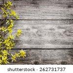 Blooming Forsythia Spring...