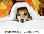 cute dog peeking out from under ... | Shutterstock . vector #262837793