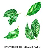 A Set Of Exotic Ficus Leaves...