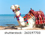 white proud camel resting on... | Shutterstock . vector #263197703