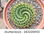 Spiral Aloe  Aloe Polyphylla ...