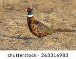 Male Ring Necked Pheasant In...