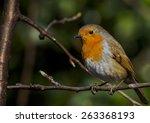 mrs scruffy the robin | Shutterstock . vector #263368193