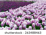 colorful tulips  tulips in... | Shutterstock . vector #263488463