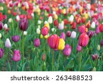 colorful tulips  tulips in... | Shutterstock . vector #263488523