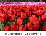 colorful tulips  tulips in... | Shutterstock . vector #263489543