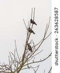 A Trio Of Starlings Share A...