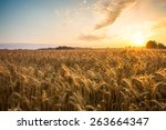 golden ears and field of wheat... | Shutterstock . vector #263664347