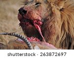 Male Lion With Fresh Red Lechw...