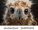 Young Brahminy Kite   Red...