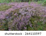 Heather  Calluna Vulgaris