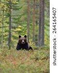 brown bear  ursus arctos  in... | Shutterstock . vector #264165407