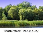 Green Willow With Other Trees...