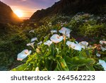 Wild Calla Lilly During Sunset...