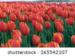 colorful tulips  tulips in... | Shutterstock . vector #265542107