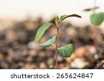 macro image of sprout of lemon... | Shutterstock . vector #265624847