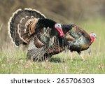 Two Wild Turkeys Strutting And...