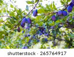 Plum Tree With Fruits Growing...