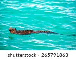 Marine Iguana Swimming In...