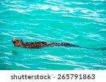 Marine Iguana Swimming In...