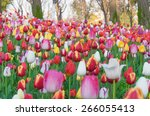 colorful tulips  tulips in... | Shutterstock . vector #266055413