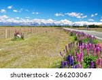 Постер, плакат: Lupins the purple flowers