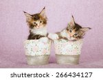 Постер, плакат: Two Maine Coon kittens