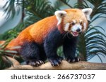 Portrait Of A Red Panda ...