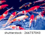 Red Gold And White Koi Fish In...