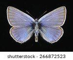 Small photo of Butterfly Polyommatus amandus (male) on a black background