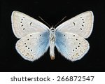 Small photo of Butterfly Polyommatus amandus (male) (underside) on a black background