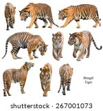 Bengal Tiger Isolated White Background - Fine Art prints