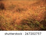 grass in the meadow with summer ... | Shutterstock . vector #267202757