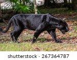 Black Panther Walks Through Th...