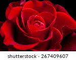 Amazing Red Rose    Floral...
