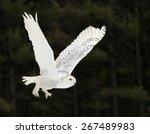 A Snowy Owl  Bubo Scandiacus ...