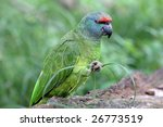 bodinus' amazon | Shutterstock . vector #26773519