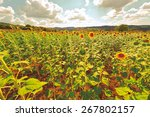 Постер, плакат: Sunflower Plantation on the