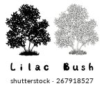 Lilac Bush With Leaves And...