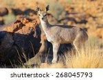 Klipspringer Buck On...