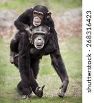 Chimpanzee Mother With Her...